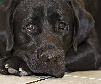 Photograph -  Labrador Retriever A1b by Walter Herrit
