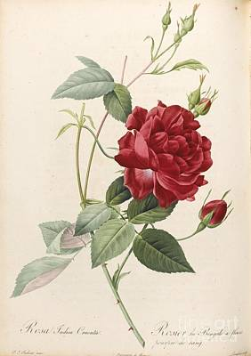 Roses Painting -  Les Roses. Paris Firmin Didot by MotionAge Designs