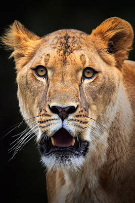 Photograph -  Lioness by Emmanuel Panagiotakis
