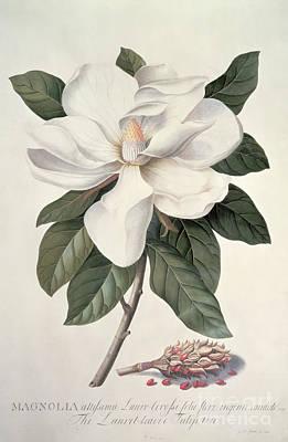 Seed Painting -  Magnolia by Georg Dionysius Ehret