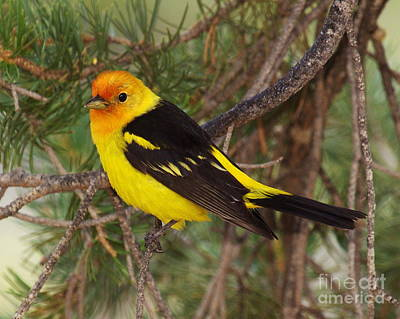 Western Tanager Photograph -  Male Western Tanager by Tom Cheatham