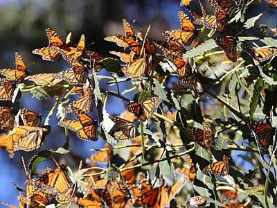 Monarch Cluster Art Print