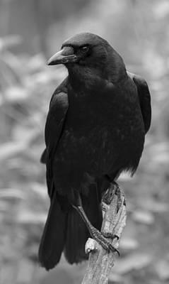 Photograph -   Mother Crow by Rae Ann  M Garrett