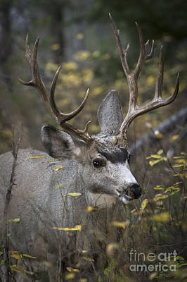 Deer Photograph -  Mule Deer Buck by Wildlife Fine Art