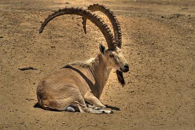 Nubian Ibex Art Print by Alexander Rozinov