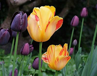 Photograph -  Orangetulips  by George Cousins