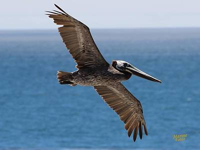 Pelican Flying Wings Outstretched Art Print