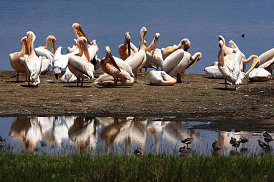 Photograph -  Pelican Reflection, Lake Nakuru, Kenya by Aidan Moran