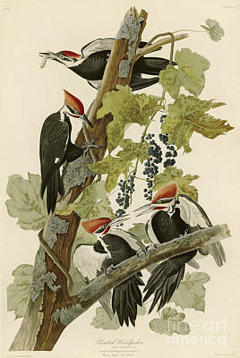 Pileated Woodpecker Art Print by MotionAge Designs
