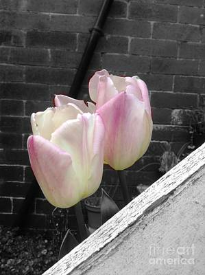 Photograph -  Pink Whisper Tulips by Joan-Violet Stretch