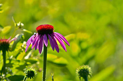 Photograph -  Purple Coneflower by Jack R Perry