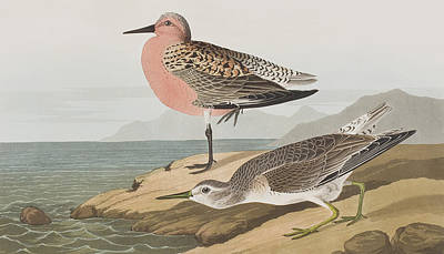Sandpiper Drawing -  Red-breasted Sandpiper  by John James Audubon