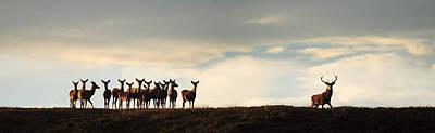 Photograph -  Red Deer Rut by Gavin Macrae
