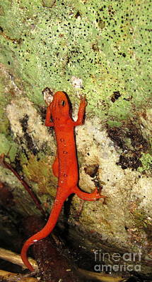 Red Eft Photograph -  Red Eft Salamander by Joshua Bales