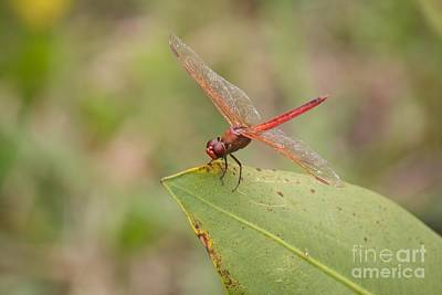 Photograph -  Red Flame Dragonfly by David Grant