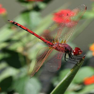 Photograph - 	 Red Male Skimmer Or Firecracker Dragonfly by Tracey Harrington-Simpson