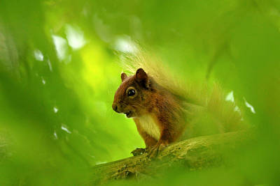 Photograph -  Red Squirrel  by Gavin Macrae