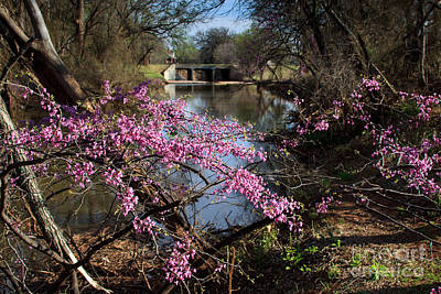 Redbuds And A Distant Bridge Art Print
