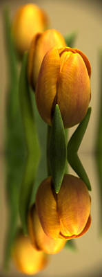 Still Life Royalty-Free and Rights-Managed Images -  Reflections of a tulip  by Tom Downing