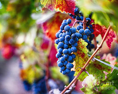 Bunch Of Grapes Photograph -  Ripe Blue Grapes On The Vine by George Oze