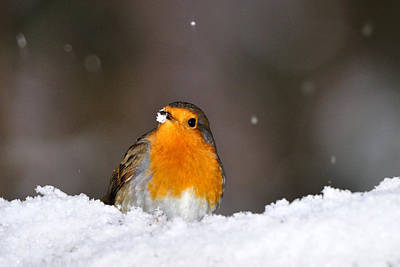 Photograph -  Robin In The Snow by Gavin Macrae