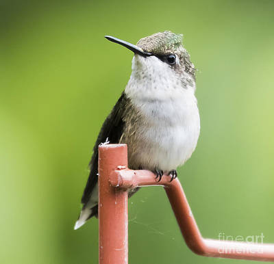 Photograph -  Ruby-throated Hummingbird  by Ricky L Jones