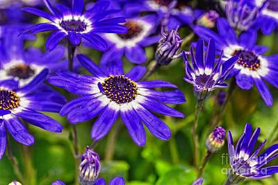 Senetti Flower Art Print