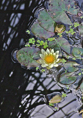 Photograph -  September White Water Lily by Janis Nussbaum Senungetuk