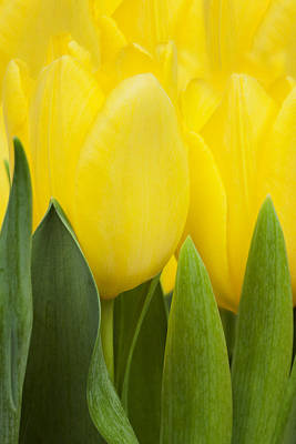 Photograph -  Spring Yellow Tulips by Gillian Dernie