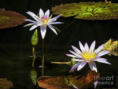 Star Lotus Art Print