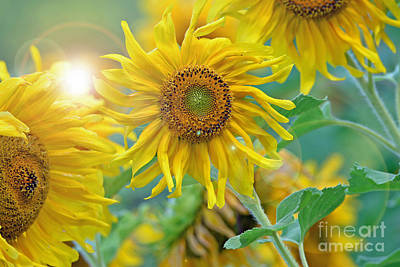 Photograph -  Sunflower by Lila Fisher-Wenzel