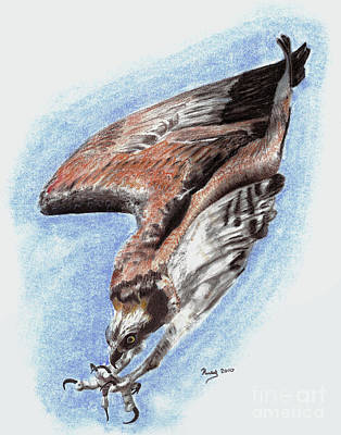 Osprey Drawing -  The Descent by Russ  Smith