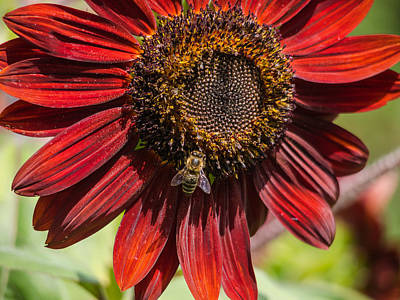 Photograph -  The Sunflower  And The Bee by Robin Zygelman