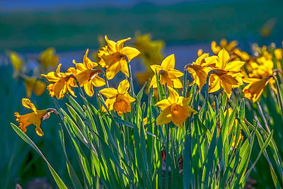 Photograph - Daffodils Spring 2016 by Leif Sohlman