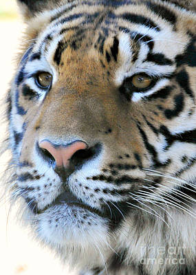 Photograph -  Tiger Portrait  by Mindy Bench