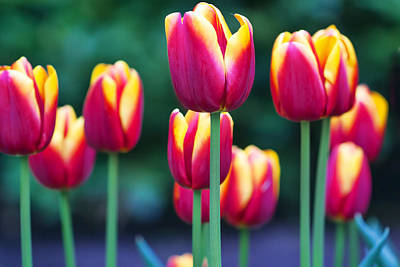 Photograph -  Tulips by Nadia Sanowar