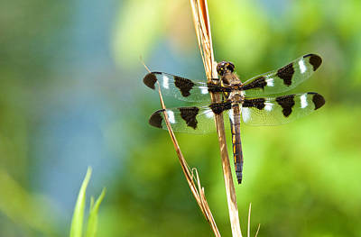 Photograph -  Twelve-spotted Skimmer, Male by Linda Shannon Morgan