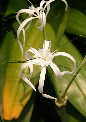 Photograph -  White Orchid.singapore 2 by Tony Brown