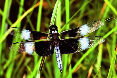 Widow Skimmer Dragonfly Original