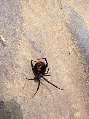 Black Widow Spider Photograph -  Widowless by Cindy  Riley