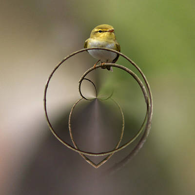 Jouko Lehto Royalty-Free and Rights-Managed Images -  Wood Warbler by Jouko Lehto