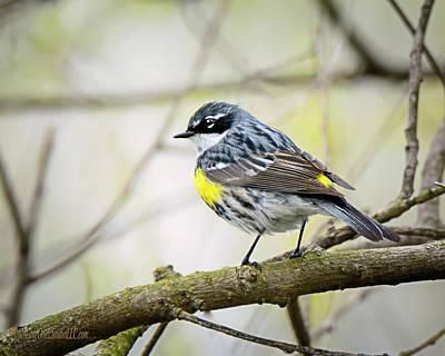 Photograph -  Yellow Rumped Warbler by LeeAnn McLaneGoetz McLaneGoetzStudioLLCcom