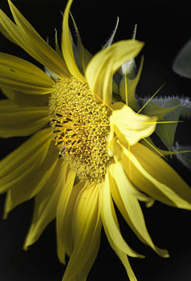 Photograph -  Yellowstar by Rae Ann  M Garrett