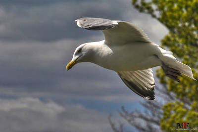 Photograph - 01 Gull Waiting Patiently  by Michael Frank Jr