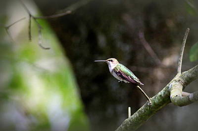 Soap Suds - 0180-0087 - Ruby-throated Hummingbird by Travis Truelove
