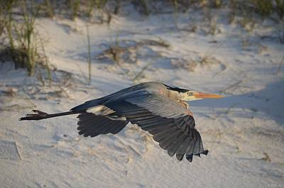Photograph - 0301 Harry The Heron Takes A Morning Flight On Navarre Beach by Jeff at JSJ Photography