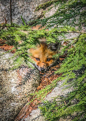 Photograph - #0527 - Fox Kit by Heidi Osgood-Metcalf