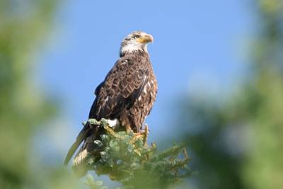 Photograph - Bald Eagle Juvenile Burgess Res Co by Margarethe Binkley