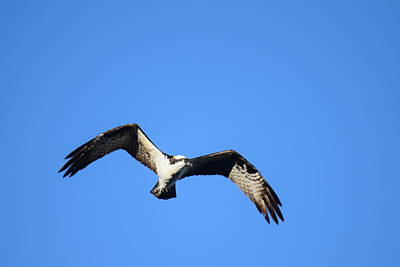 Photograph - Osprey Burgess Res Divide Co by Margarethe Binkley