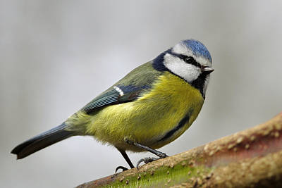 Photograph -     Blue Tit by Gavin Macrae